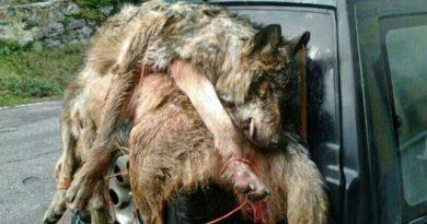 La caza del lobo será prohibida por ley