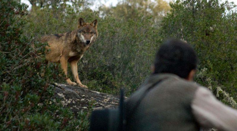 La Junta autoriza los cupos de caza en las comarcas loberas al norte del río Duero hasta 2022