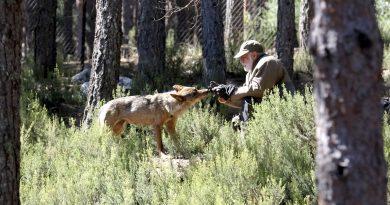 El Centro del Lobo Ibérico de Sanabria estrena un observatorio-pasarela para ver a la nueva manada, tres cachorros y sus padres