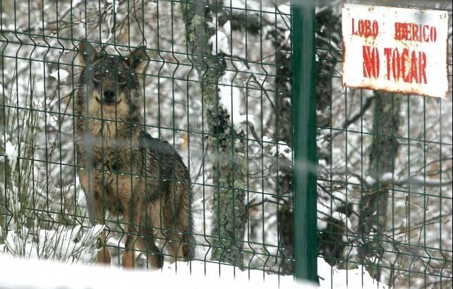 El Ministerio certifica que desde hoy será ilegal cazar lobos en provincias como León pero la Junta lo mantiene